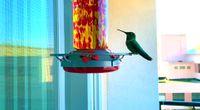 HummingBird Landing (240fps slo-mo) #PeerTube #Video #Nature #CreativeToots by ZiiX